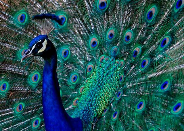 avora peacock